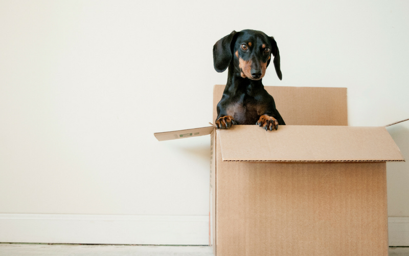 A dachshund stands on its hind legs while in a cardboard moving box.
