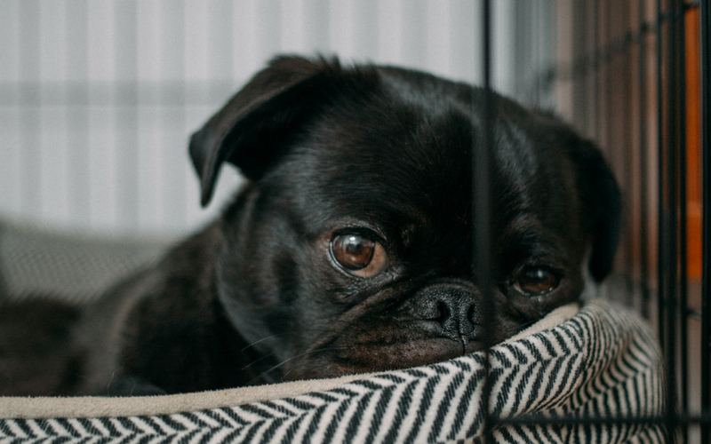 A pug lays on a plush bed inside his crate.