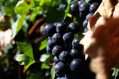 dark blue-purple wine grapes